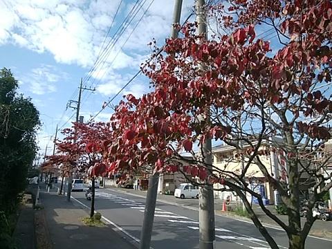 東山田のハナミズキ並木