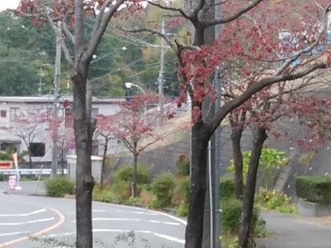 美しが丘西のハナミズキ並木
