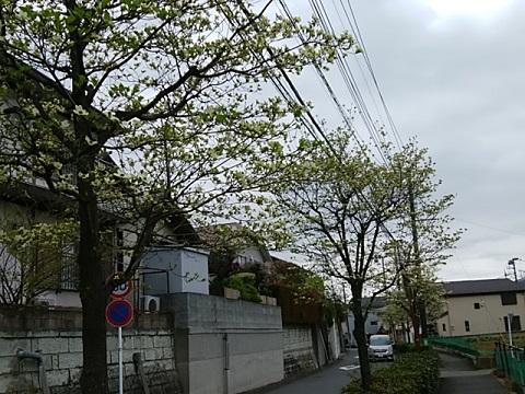 高田町のハナミズキ