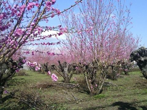 有馬の桃畑