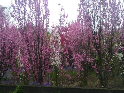 千年水桃畑
