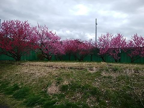 矢崎橋の桃畑