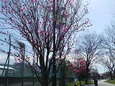 富士見公園桃