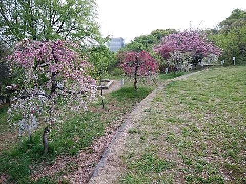 日吉公園桃