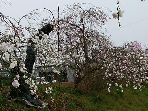 菜の花畑の桃