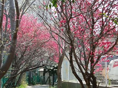 慶応大学下田グラウンド桃