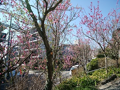 小台1丁目の駐車場の桃