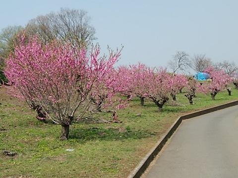 フロンターレグランド近くの桃畑