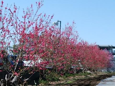 宮前平3丁目の桃