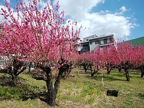 宮崎の桃畑