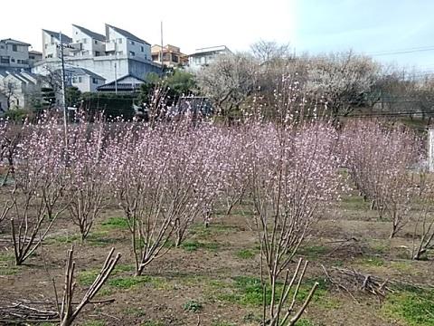 野川の桃畑