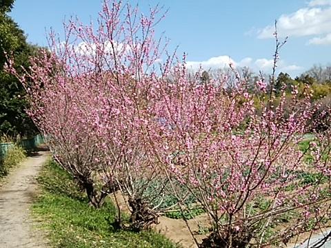 王禅寺付近の桃畑