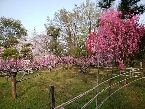 緑化センターの桃畑