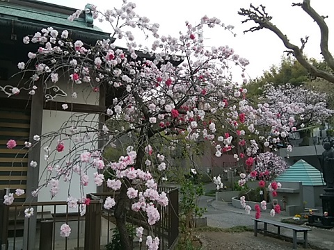 龍台寺の桃