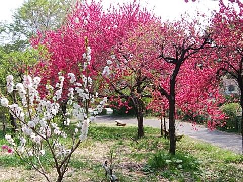 さいわいふるさと公園桃