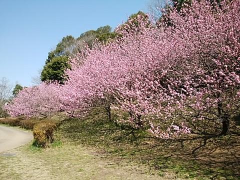 四季の森公園桃