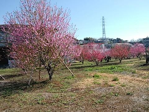 下作延5丁目の桃畑