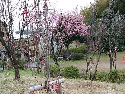 綱島市民の森桃