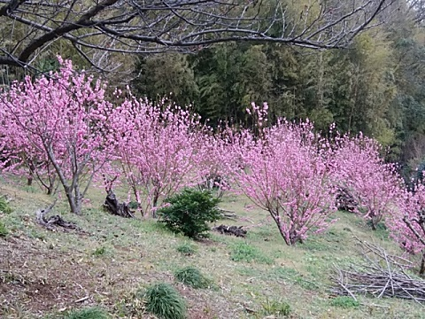 神社横の桃畑