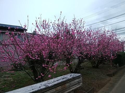 道路沿いの桃畑