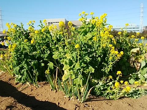 東方町の菜の花畑