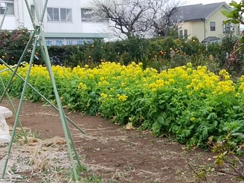 池上小学校近くの菜の花畑