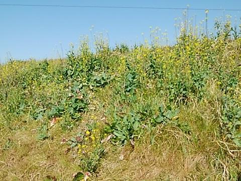 鶴見川鴨居土手菜の花畑