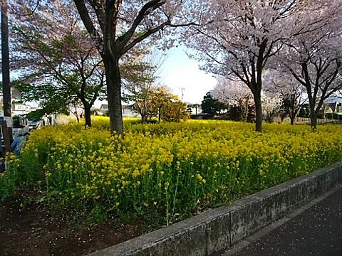 川和駅菜の花畑