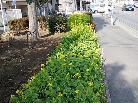 綱島街道菜の花畑