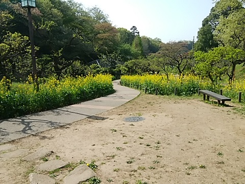 大倉山公園菜の花