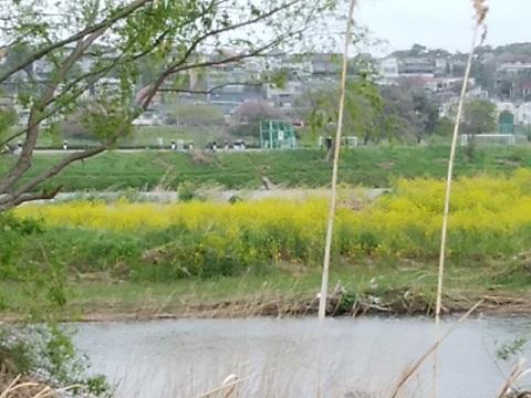 多摩川等々力中州の菜の花