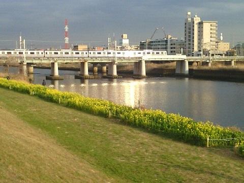 鶴見川綱島付近菜の花畑