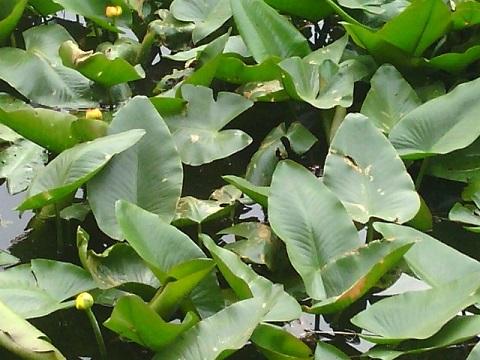菊名池のコウホネ