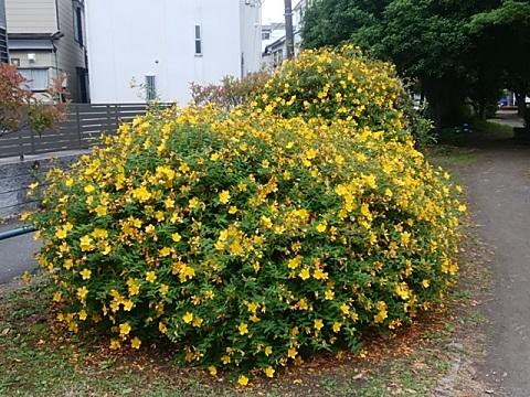 新田緑道の金糸梅