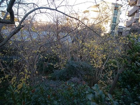 泉福寺横の蝋梅植木畑