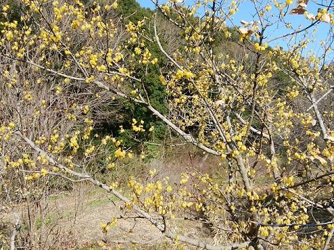 四季の森公園ロウバイ