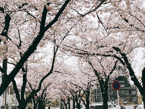 國學院大学桜