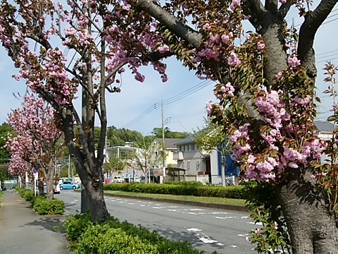 恩田駅前関山並木