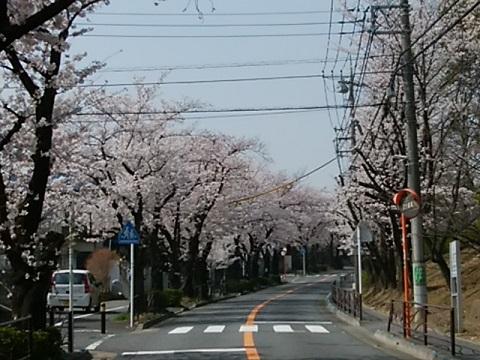 白鳥桜並木
