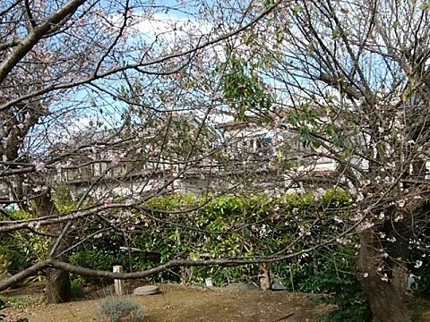 長善寺十月桜