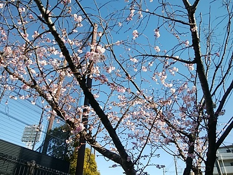 富士見公園十月桜