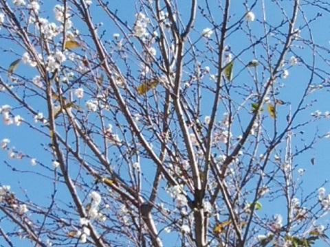 平瀬川十月桜