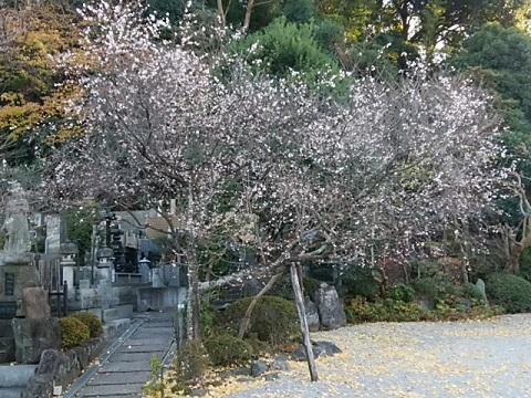 本長寺の十月桜