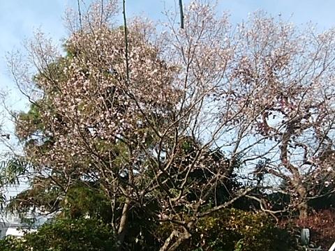 浄慶寺十月桜