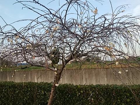 鶴見川川和町狂い咲