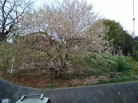 北新羽杉山神社ヒマラヤ桜