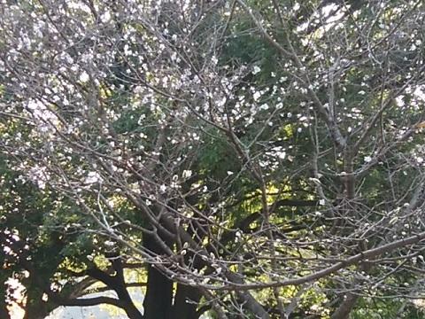 三ツ池公園冬桜