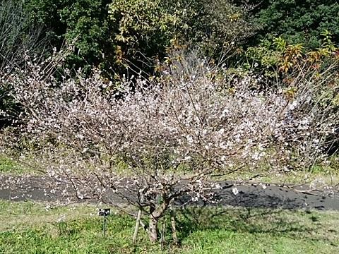 四季の森公園四季桜