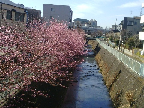 五反田川河津桜