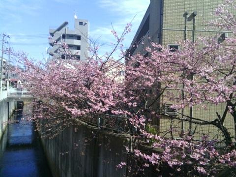 五反田川西河津桜